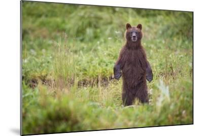 Brown Bear in Coastal Meadow in Alaska-Paul Souders-Mounted Photographic Print