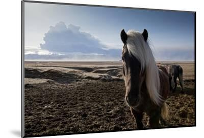 Icelandic Horses Near Ash Plume from Eyjafjallajokull Eruption--Mounted Photographic Print