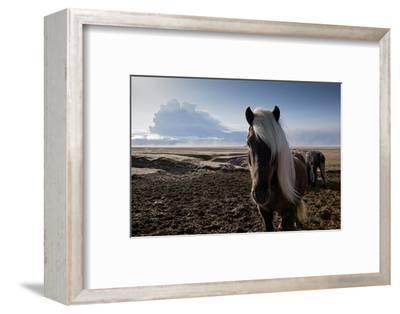 Icelandic Horses Near Ash Plume from Eyjafjallajokull Eruption--Framed Photographic Print