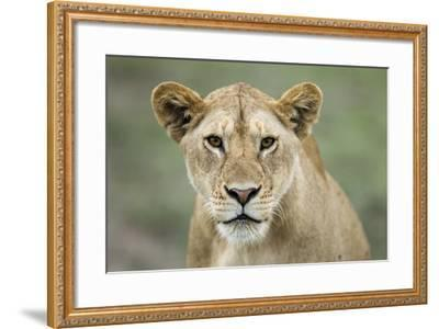 Portrait of Lioness--Framed Photographic Print