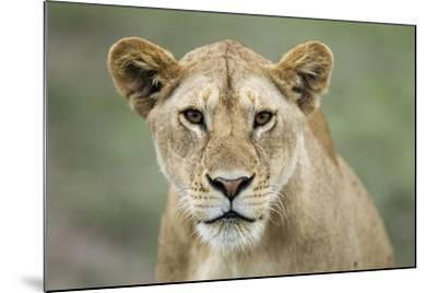 Portrait of Lioness--Mounted Photographic Print