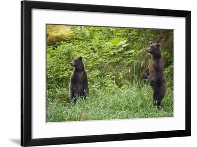 Brown Bears Standing on Baranof Island--Framed Photographic Print