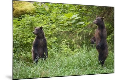 Brown Bears Standing on Baranof Island--Mounted Photographic Print