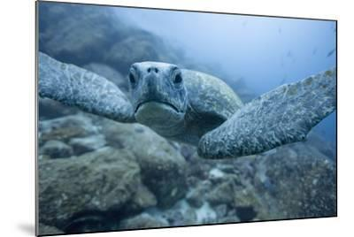 Green Turtle in the Galapagos Islands--Mounted Photographic Print