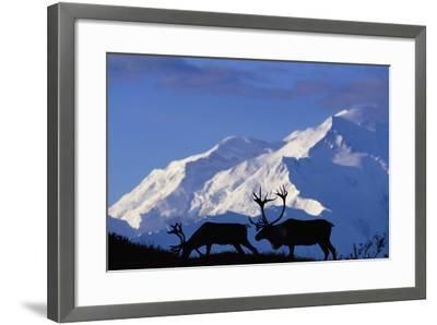 Caribou Grazing Near Wonder Lake Below Mt. Mckinley--Framed Photographic Print