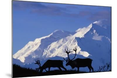 Caribou Grazing Near Wonder Lake Below Mt. Mckinley--Mounted Photographic Print