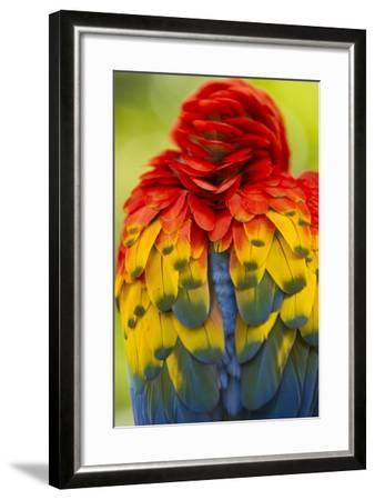 Scarlet Macaw, Costa Rica--Framed Photographic Print
