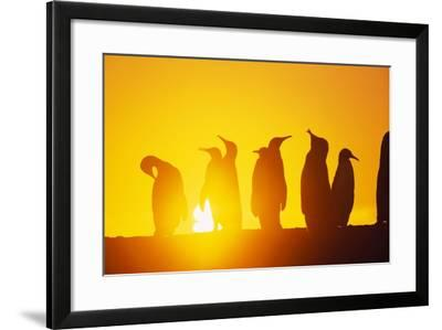 Silhouetted King Penguin Colony at Sunrise--Framed Photographic Print