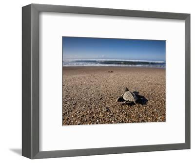 Hatchling Sea Turtle Heads to the Ocean--Framed Photographic Print