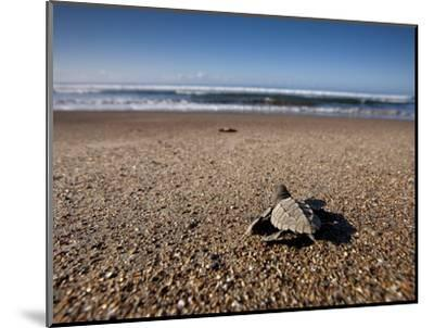 Hatchling Sea Turtle Heads to the Ocean--Mounted Photographic Print