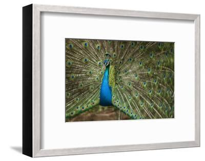 Male Indian Peacock in Costa Rica--Framed Photographic Print