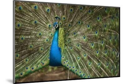 Male Indian Peacock in Costa Rica--Mounted Photographic Print