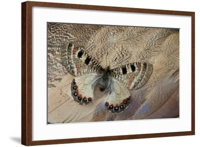 False Apollo Butterfly, Archon Apollinus, and Shoulder Feathers of Senegal Buster-Darrell Gulin-Framed Photographic Print