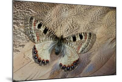 False Apollo Butterfly, Archon Apollinus, and Shoulder Feathers of Senegal Buster-Darrell Gulin-Mounted Photographic Print