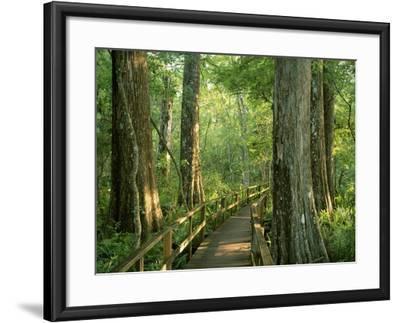 Boardwalk Through Forest of Bald Cypress Trees in Corkscrew Swamp-James Randklev-Framed Photographic Print