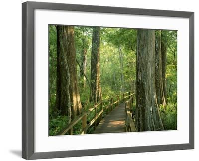 Boardwalk Through Forest of Bald Cypress Trees in Corkscrew Swamp-James Randklev-Framed Photographic Print