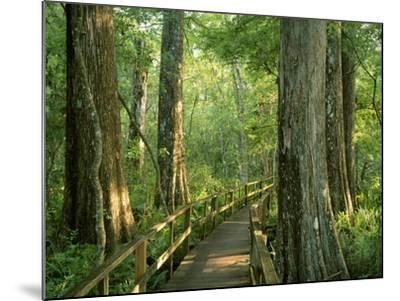 Boardwalk Through Forest of Bald Cypress Trees in Corkscrew Swamp-James Randklev-Mounted Photographic Print