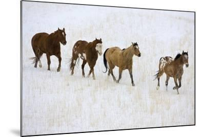 American Quarter Horses in Winter-Darrell Gulin-Mounted Photographic Print