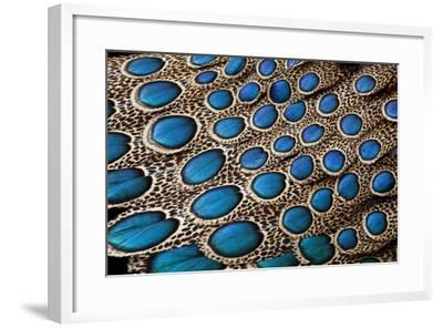 Malay Peacock Pheasant Both Tail and Wing Feathers Layered in Feather Design-Darrell Gulin-Framed Photographic Print