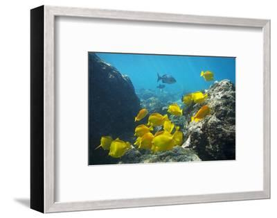 School of Yellow Tang Nderwater Near La Perousse, Makena, Maui, Hawaii-Ron Dahlquist-Framed Photographic Print