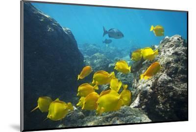 School of Yellow Tang Nderwater Near La Perousse, Makena, Maui, Hawaii-Ron Dahlquist-Mounted Photographic Print
