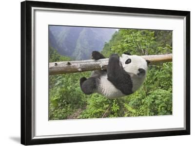 Giant Panda Cub Hanging from Tree Trunk-Frank Lukasseck-Framed Photographic Print