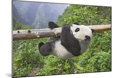 Giant Panda Cub Hanging from Tree Trunk-Frank Lukasseck-Mounted Photographic Print