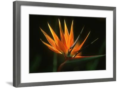 Bird of Paradise Flower-Martin Harvey-Framed Photographic Print