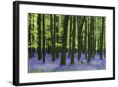 Bluebells at Dockey Wood on the Ashridge Estate-Alistair Laming-Framed Photographic Print