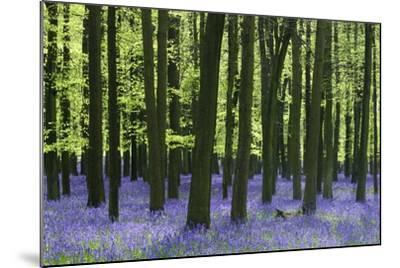 Bluebells at Dockey Wood on the Ashridge Estate-Alistair Laming-Mounted Photographic Print