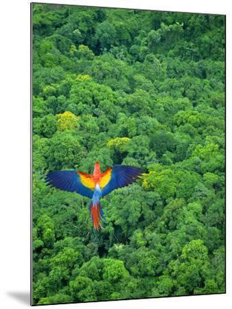 Scarlet Macaw Flying over Rainforest-Jim Zuckerman-Mounted Photographic Print