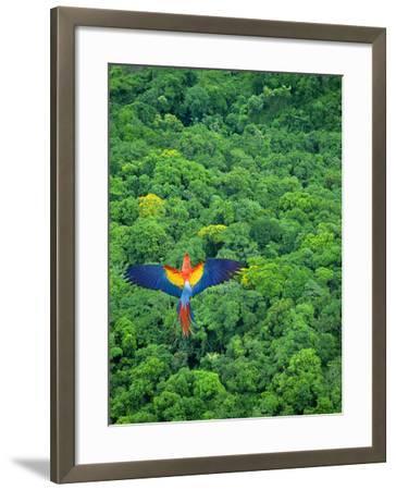 Scarlet Macaw Flying over Rainforest-Jim Zuckerman-Framed Photographic Print