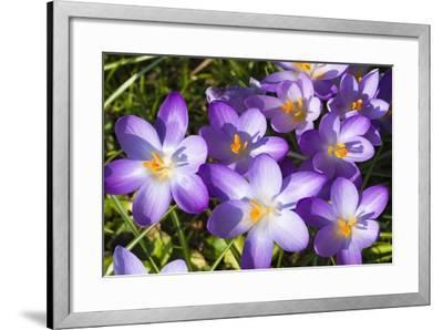 Crocus Flowers-Frank Lukasseck-Framed Photographic Print