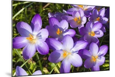 Crocus Flowers-Frank Lukasseck-Mounted Photographic Print