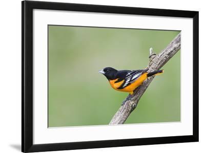 Baltimore Oriole (Icterus Galbula), during Spring Migration, Rondeau Provincial Park, Ontario, Cana-Ethan Meleg-Framed Photographic Print