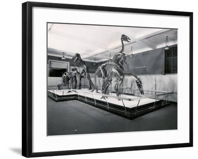View of Tyrannosaur Skeletons in Museum--Framed Photographic Print