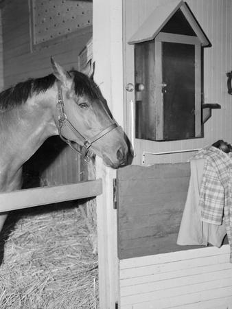 Racehorse Seabiscuit--Framed Photographic Print
