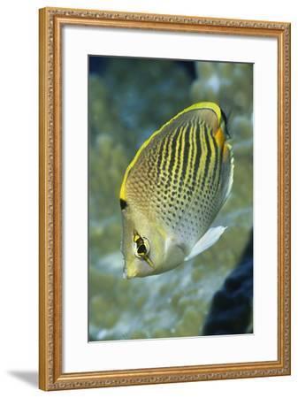Dot & Dash Butterflyfish-Hal Beral-Framed Photographic Print