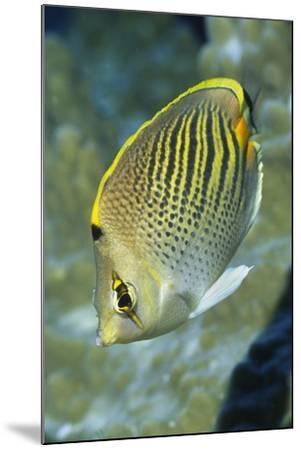 Dot & Dash Butterflyfish-Hal Beral-Mounted Photographic Print