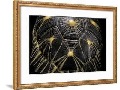 Geochelone Radiata (Radiated Tortoise)-Paul Starosta-Framed Photographic Print