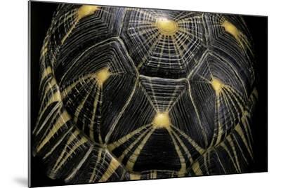 Geochelone Radiata (Radiated Tortoise)-Paul Starosta-Mounted Photographic Print