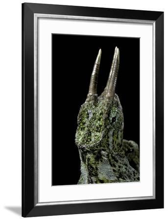 Chamaeleo Johnstoni (Johnston's Chameleon)-Paul Starosta-Framed Photographic Print