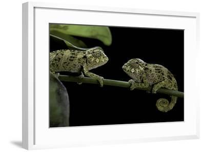 Chamaeleo Johnstoni (Johnston's Chameleon) - Young-Paul Starosta-Framed Photographic Print