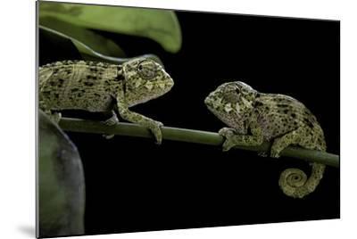 Chamaeleo Johnstoni (Johnston's Chameleon) - Young-Paul Starosta-Mounted Photographic Print