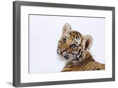Tiger Cub-Martin Harvey-Framed Photographic Print