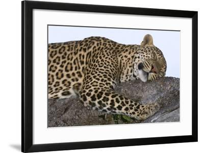 Leopard Asleep on Branch-Momatiuk - Eastcott-Framed Photographic Print
