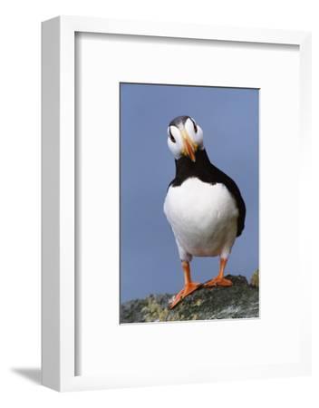 Horned Puffin, Alert, Alaska-Momatiuk - Eastcott-Framed Photographic Print