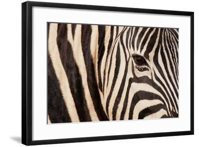 Burchell's Zebra (Equus Burchellii)-Sergio Pitamitz-Framed Photographic Print