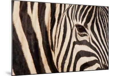 Burchell's Zebra (Equus Burchellii)-Sergio Pitamitz-Mounted Photographic Print