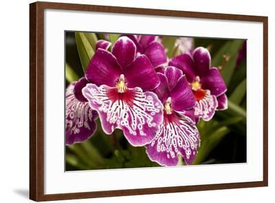 Purple Butterfly Orchids-Richard T. Nowitz-Framed Photographic Print
